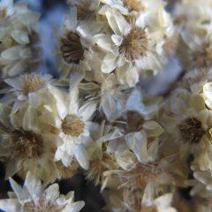 Himalayan Flora