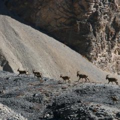 Ibex on the Move