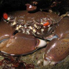 North Andaman Crab