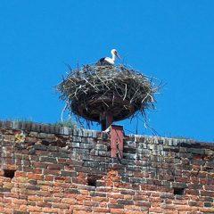 Tangermuende Stork Nest