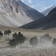 Yak Herd