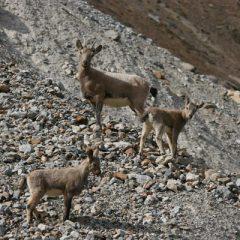 Zanskar Ibex