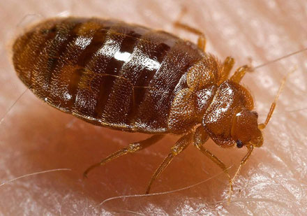 Nasty Bedbug
