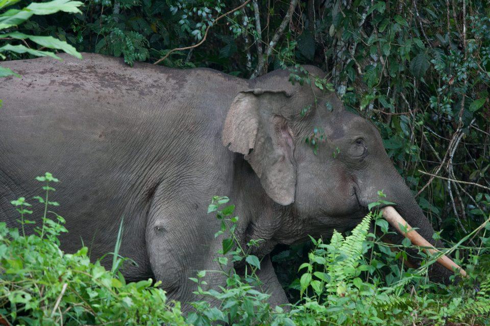 Borneo elephant along the Kinabatangan River