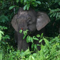 Elephant along the Kinabatangan River