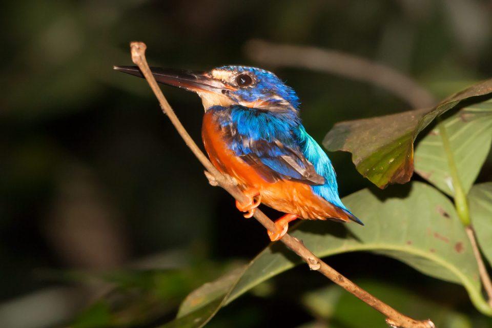 Kinabatangan kingfisher