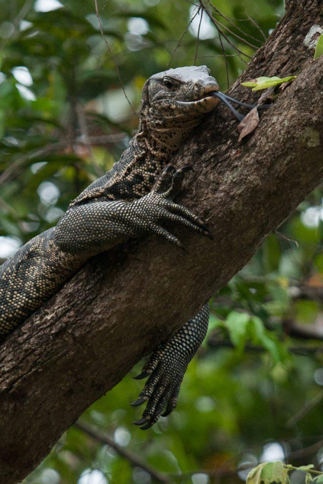 Monitor lizard along Kinabatangan River