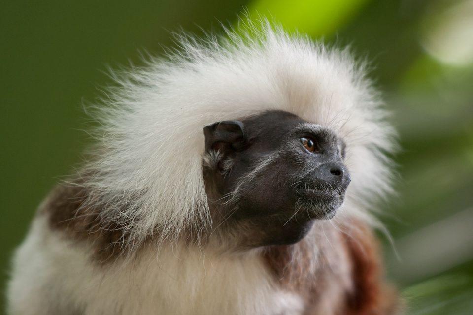 Cotton-Top Tamarin Singapore Zoo