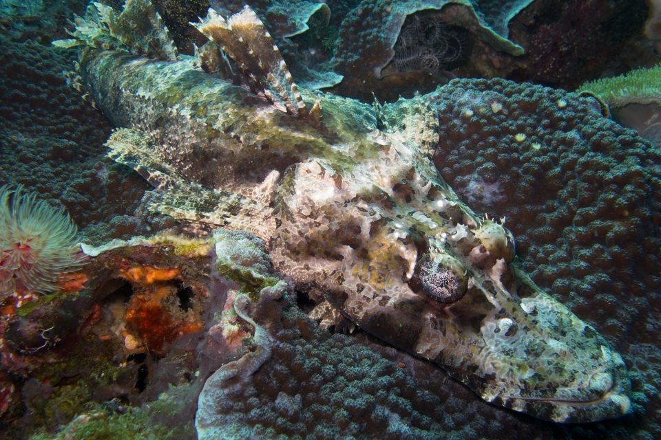 Crocodilefish during Komodo dive