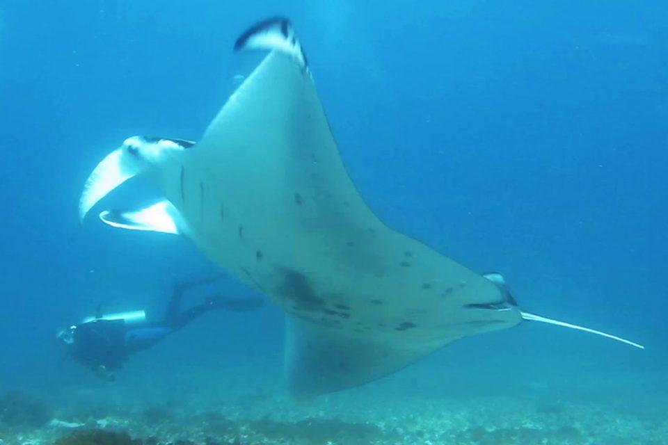 Thomas watching a manta while diving Komodo