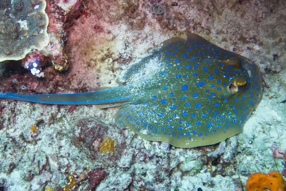 Blue-spotted ribbontail ray in Komodo