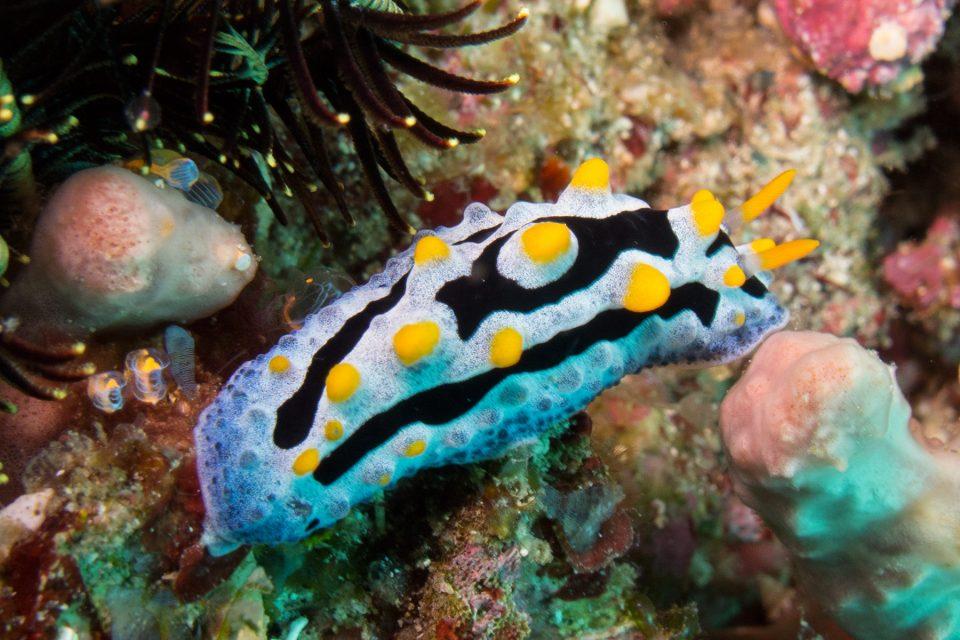 Beautiful nudibranch during Komodo dive
