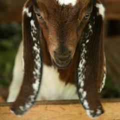 Baby goat in Bali