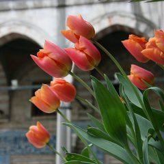 Tulips in the Süleymaniye Mosque