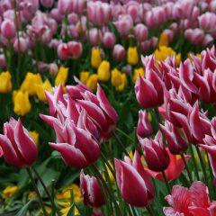 Topkapı Palace tulip gardens