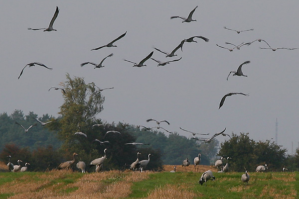 Cranes in Unteres Odertal National Park
