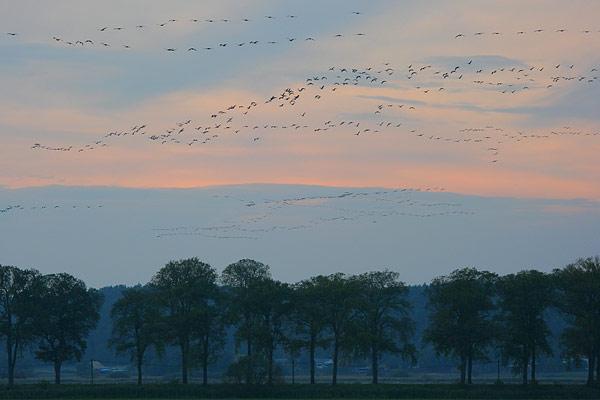 Cranes fill the skies of Brandenburg