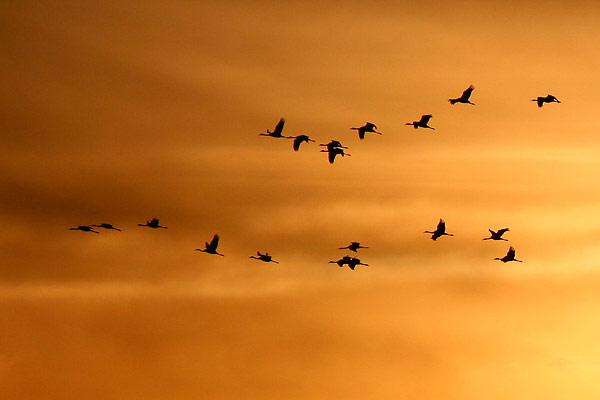 Cranes fill the skies of Brandenburg