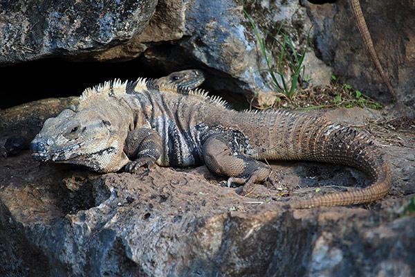 Yucatan iguanas
