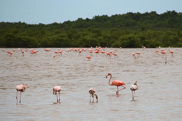 celestun-flamingos-3