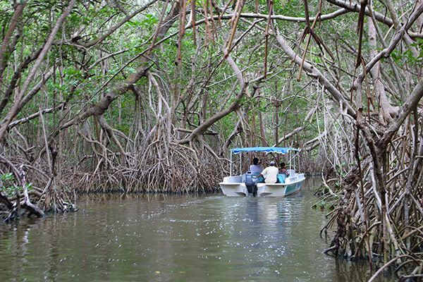 A boat winds its way through a tunnel in the towering mangrove swamps