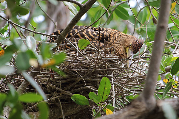 Tiger heron ducks down in its nest to avoid detection