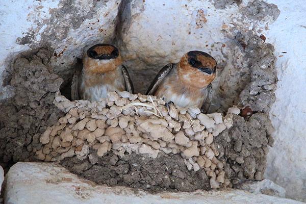 uxmal birds