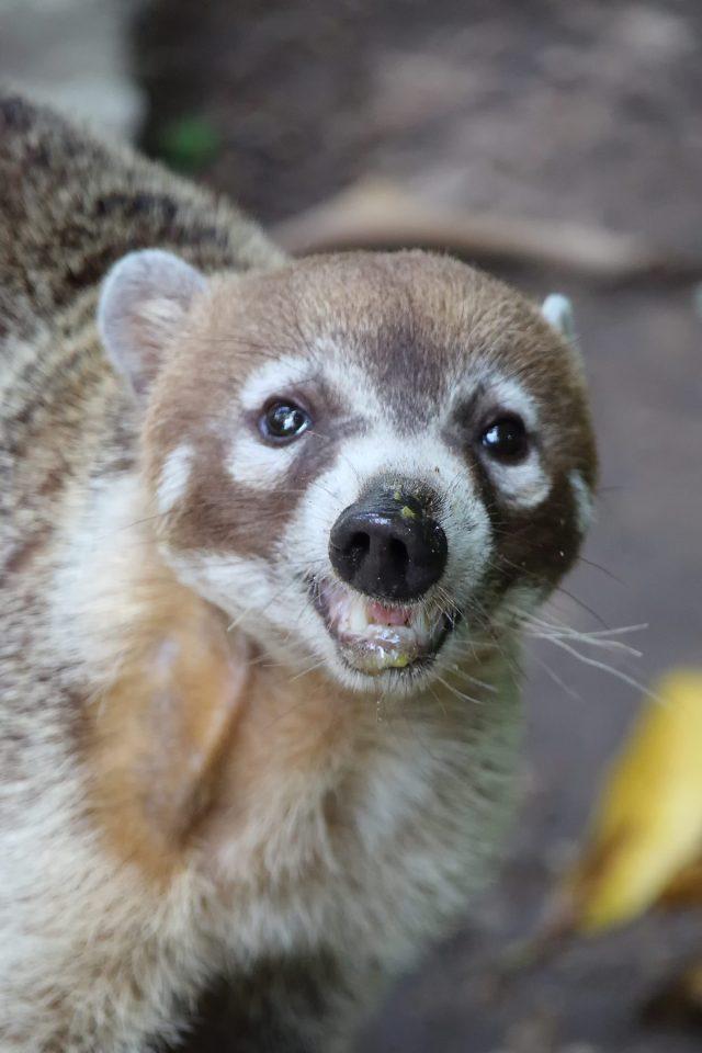 A coati at La Venta, Mexico