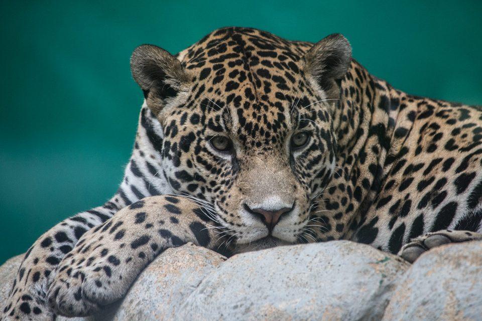 Jaguar at La Venta