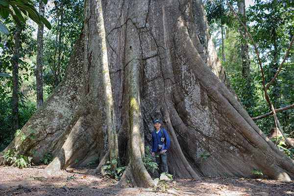 Posada Amazonas giant ceiba