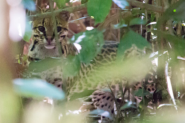 Ocelot near Tambopata Research Center