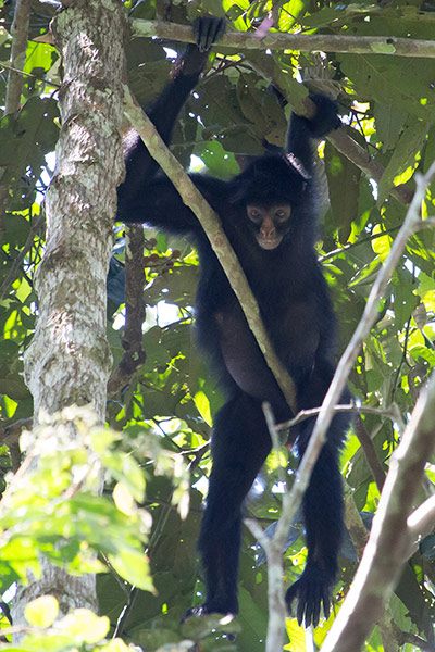 Spider monkey Tambopata region