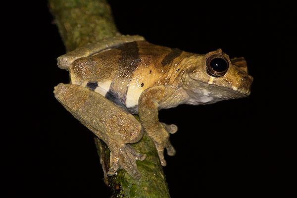 Tambopata tree frog