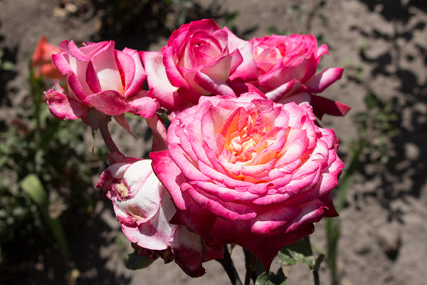 Roses in the cloister's garden
