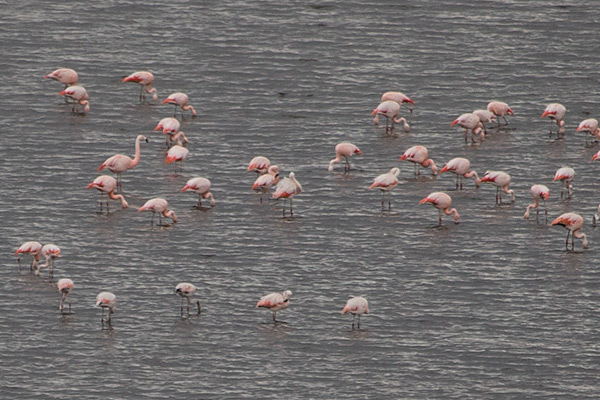 Flamingos in Salinas y Aguada Blanca National Park