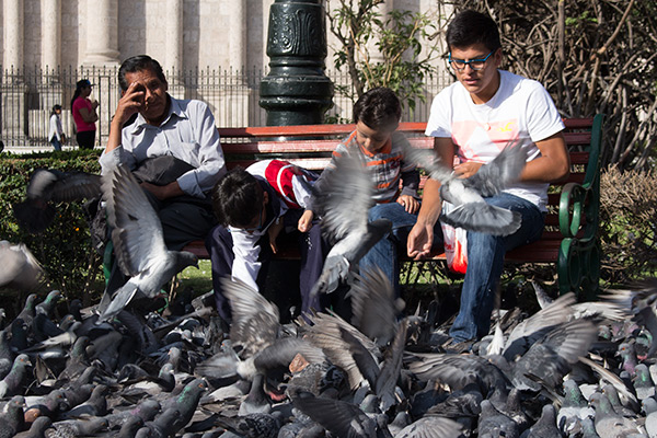 Pigeons at the Plaza de Armas in Arequipa