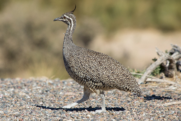 Elegant crested tinamou in Punta Tombo