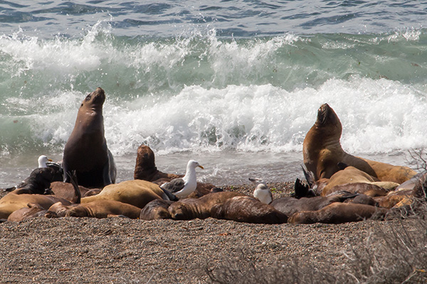 Sea lions on Punta Norte beach