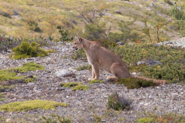 Andean puma, Torres del Paine National Park, Chile