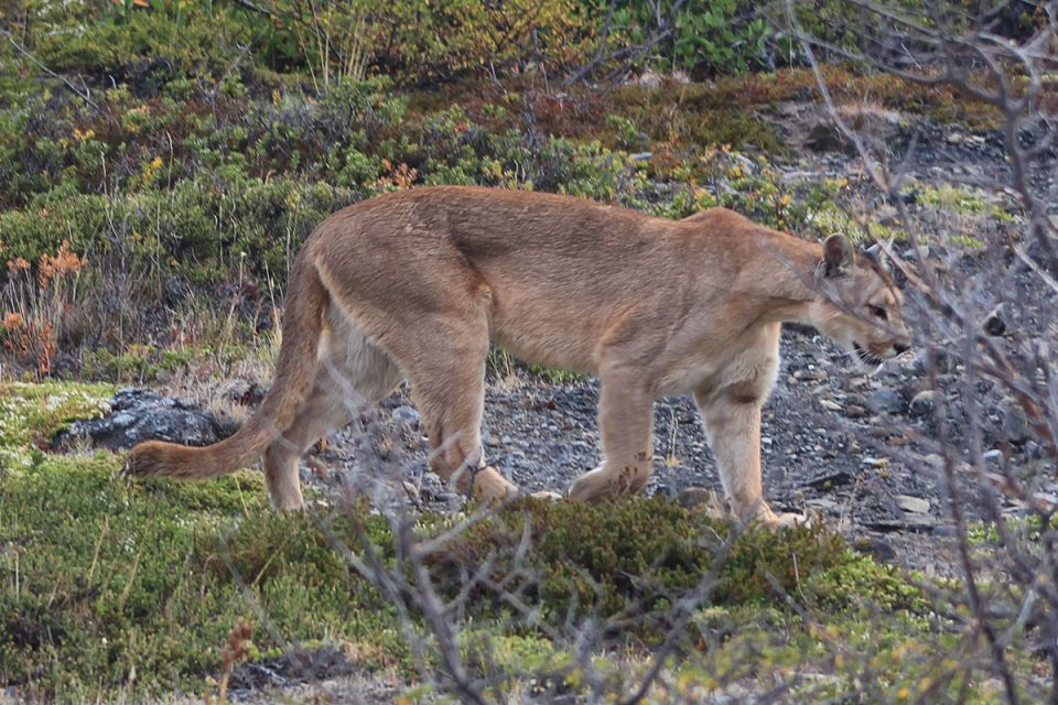Mountian Lion in Torres del Paine National Park