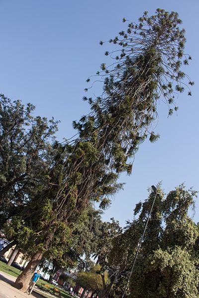 Monkey puzzle tree, Plaza Brasil, Santiago