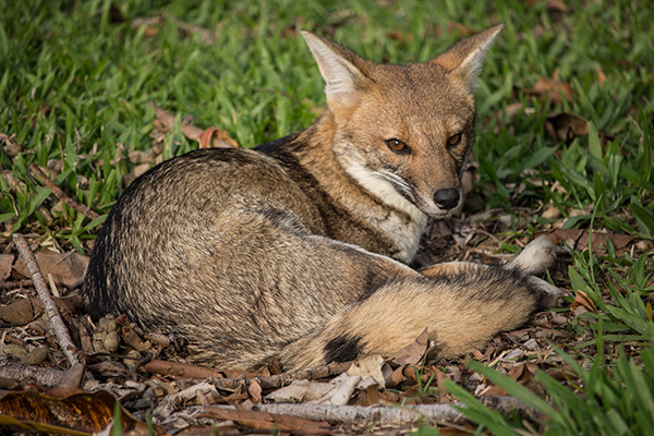 Gray fox in the Iberá Wetlands, Argentina