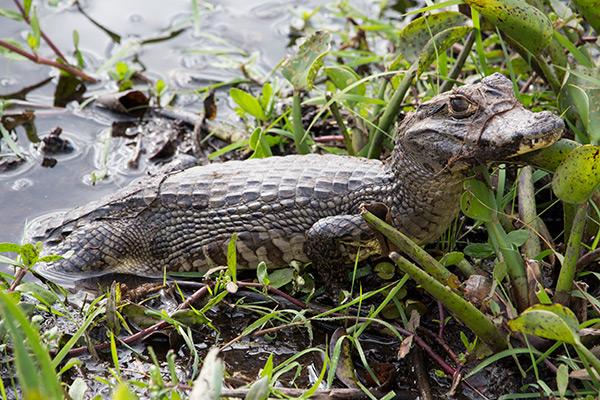 Baby caiman in the Iberá Wetlands, Argentina