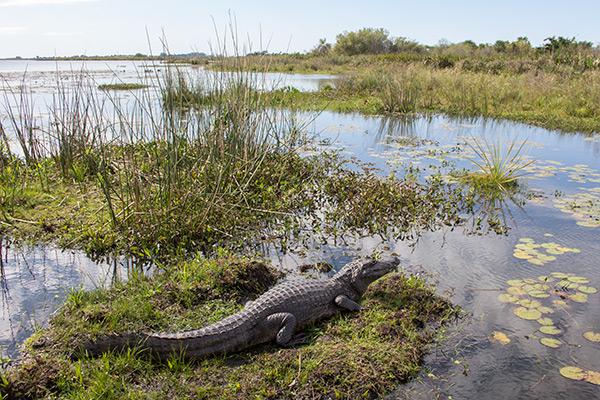 Caiman at Iberá Wetlands, Argentina