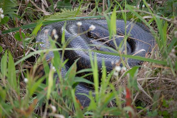 Yellow anaconda  in the Iberá Wetlands, Argentina