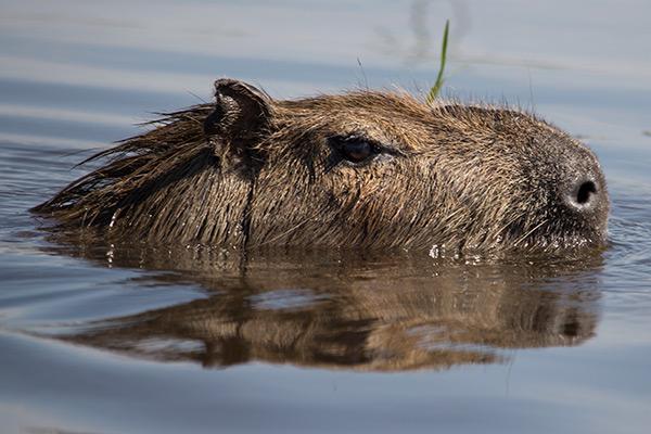 Capybara in the Iberá Wetlands, Argentina