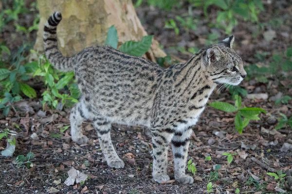 Geoffroy's cat in the Iberá Wetlands, Argentina