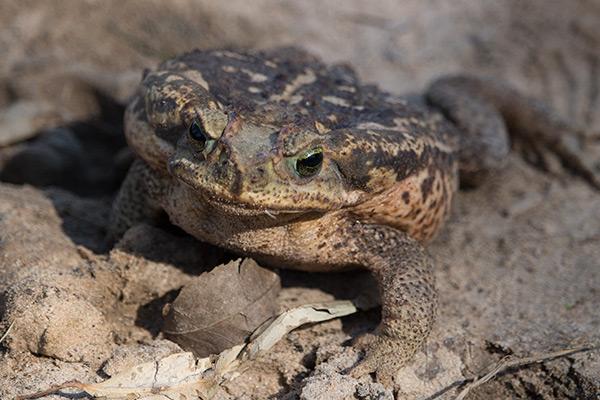 Frog in the Iberá Wetlands, Argentina