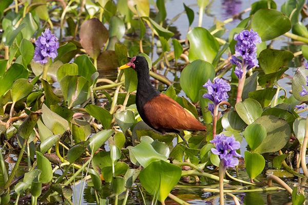Jacana bird in the Iberá Wetlands, Argentina
