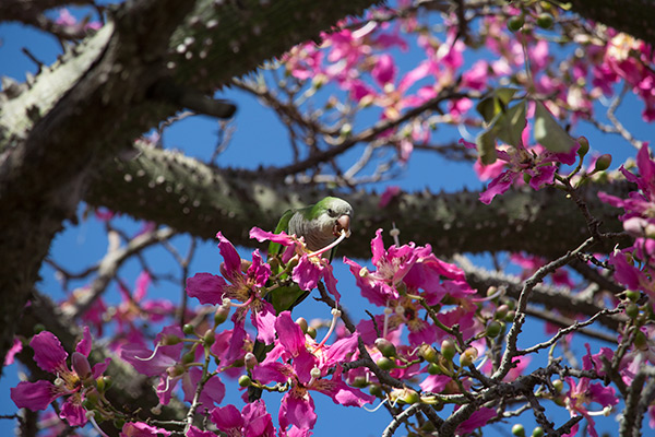 Parakeet in silk floss tree in Colonia del Sacramento